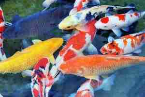 Read more about the article What Does Fish Symbolize In Chinese Culture