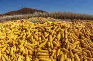 Read more about the article What Is Corn Used for in China?